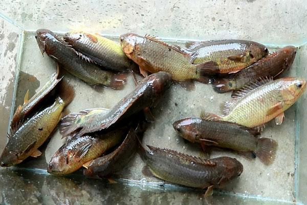 chọn mua cá rô đồng